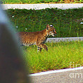 Why Did The Bobcat Cross The Road by Kim Pate