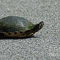 Why Did The Turtle Cross The Road by Dale Powell