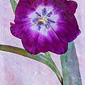 Wide Open Tulip by Heidi Smith