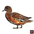 Wigeon Art - 7415 - Wb by James Ahn