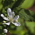 Wild Alabama Blackberry Blossom by Kathy Clark