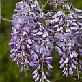 Wild Alabama Wisteria Frutescens Wildflowers by Kathy Clark