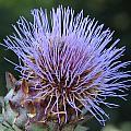 Wild Artichoke Flower by Helaine Cummins