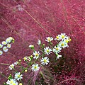 Wild Asters And Muhly Grass by Kathryn Meyer