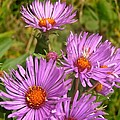 Wild Asters by Stephanie Moore