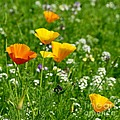 Poppies 3 - Wild At Heart by Wendy Wilton