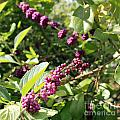 Wild Beautyberry Bush by Lee Serenethos