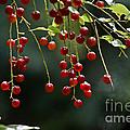 Wild Berries by Cheryl Baxter