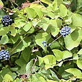 Wild Berries by Bonfire Photography