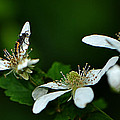 Wild Berry Blossoms And Friend by George Bostian