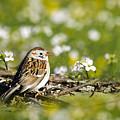 Wild Birds - Field Sparrow by Christina Rollo