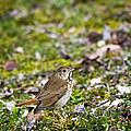 Wild Birds Hermit Thrush by Christina Rollo