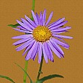 Wild Blue Aster by Tom Janca
