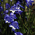 Wild Blue Bells by Edward Hawkins II