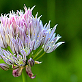 Wild Blue - Chive Blossom by Adam Romanowicz