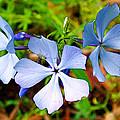 Wild Blue Phlox Near Hastings-michigan   by Ruth Hager
