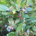 Wild Blueberry Bush by Susan Carella