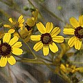 Wild Brittle Bush Flowers by Tom Janca