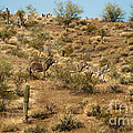 Wild Burros by Robert Bales