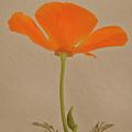 Wild California Poppy No 2 by Ben and Raisa Gertsberg