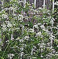 Wild Caraway And Old Fence by Barbara Griffin
