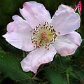 Wild Carolina Rose by William Tanneberger