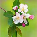 Wild Cherry Blossoms by Carolyn Derstine