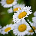Wild Daisies After The Rain by Amy Porter