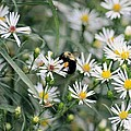 Wild Daisies And The Bumblebee by Maria Urso