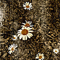Wild Daisies by Bellesouth Studio