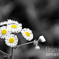 Wild Daisies by Jai Johnson