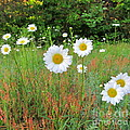 Wild Daisies by Joshua Bales