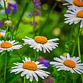 Wild Daisy by Garvin Hunter