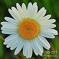 Wild Daisy With Dew by Terri Gostola