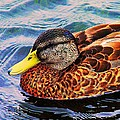 Wild Duck  by Denyse Duhaime