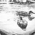 Wild Duck by Julie Miller