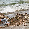 Wild Ducks by Evgeny Pisarev