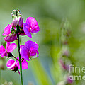 Wild Everlasting Pea by Sharon Talson