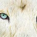 Wild Eyes - White Lion by Carol Cavalaris