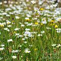 Wild Flower Meadow by Janet Burdon