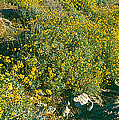 Wild Flowers, Anza Borrego Desert State by Panoramic Images