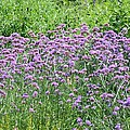 Wild Flowers by Jeelan Clark