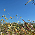 Wild Foxtail Grass In The Breeze II by Debbie Portwood