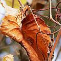 Wild Grapevine Leaf by Pamela Patch