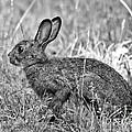Wild Hare by Cheryl Baxter