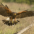 Wild Harris Hawk Landing by Dave Welling