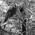 Wild Hawaiian Parrot Black And White by Joseph Baril