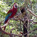Wild Hawaiian Parrot  by Joseph Baril