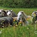 Wild Horses by Angel Ciesniarska