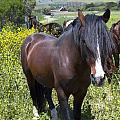 Wild Horses In California Series 4 by Barbara Snyder